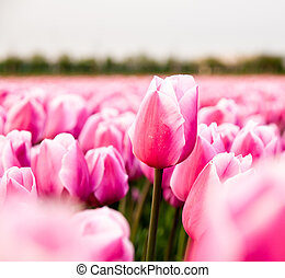pink tulip in a tulip field - An individual unopened long...