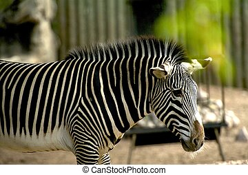 Young Zebra int he City Zoo