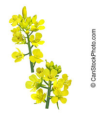 Rapeseed Flower - Branch of rapeseed flower isolated on...