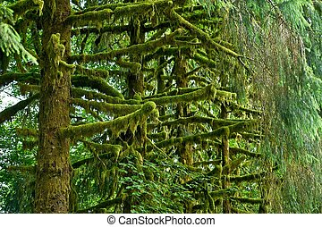 Mossy Rainforest Trees