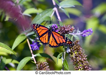 Monarch Butterfly Closeup. Spring in the Garden. Monarch...