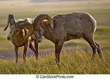 Bighorn Sheeps in Love - American Prairies Wildlife. South...