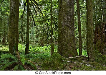 Mossy Forest in Washington State, USA Washington Rainforest...