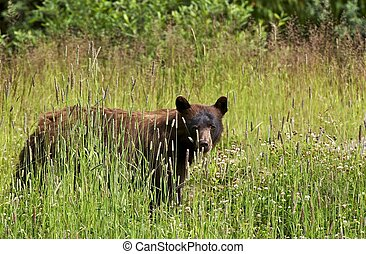 Black Bear in Summer - British Columbia, Canada. Canadian...