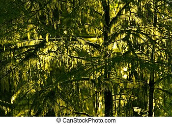 Pacific Northwest Rainforest Closeup. Mossy Trees. Olympic...