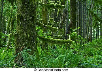 Pacific Northwest Rainforest - Washington State, USA Mossy...