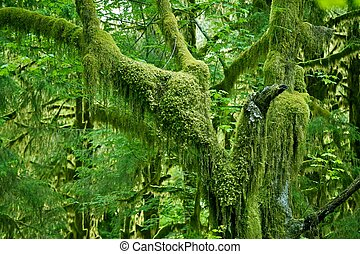 Mossy Tree in Olympic National Park Rainforest Washington...