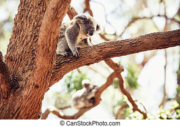 Koala Bear on a tree - Koala Bear relaxing on Australian...