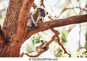 Koala Bear on a tree - Koala Bear relaxing on Australian...