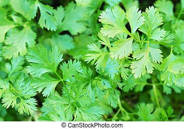 Coriander Herb leaves detail - cilantro Coriander Herb...
