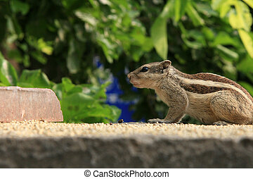 Chipmonk - Lodi Garden, Delhi, India - Chipmonk - Lodi...