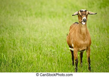 Goat on the Meadow - Farmland / Pasture. Agriculture Photo...