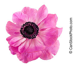 Twisted pink Anemone flower, isolated over white