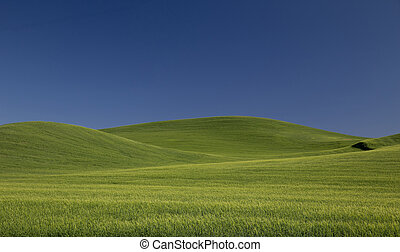 Rolling Green Wheat Fields of the Palouse Country With Blue Sky
