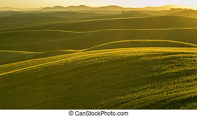 Rolling Wheat Fields With Morning Sun