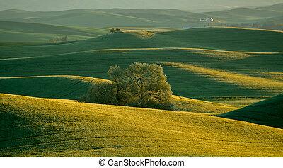 Lone Tree in Rolling Fields of Wheat