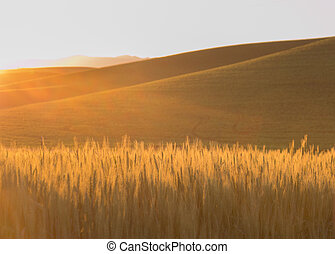 Golden Rolling Fields of Wheat With Sun Flare - Golden...