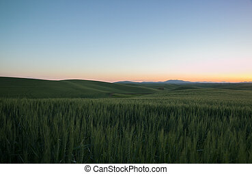 Green Wheat Fields of the Palouse at Dawn