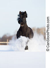 Black horse run in winter gallop fast