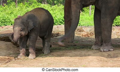 Elephant mother and baby at Chitwan National Park, Chitwan,...
