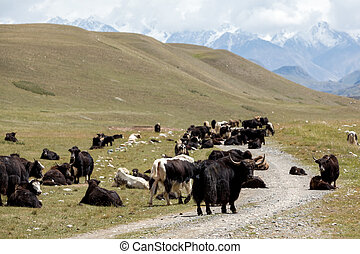 Yaks blocking road, Tien Shan, Kirgizstan