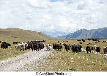 Group of yaks going away, Kirgizstan