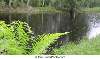 pond drop rain - nice green fern leaves in the background of...