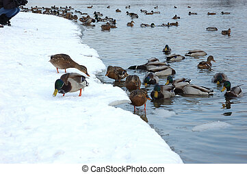 Ducks in winter river - View of snowy winter riverbank with...