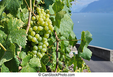 Grapes against Geneva lake, Switzerland