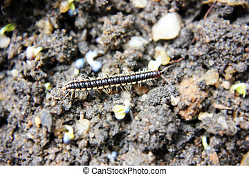 Millipede - Close up shot of Black millipede in forest