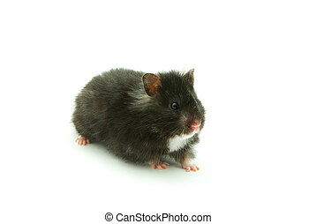 little hamster on white background