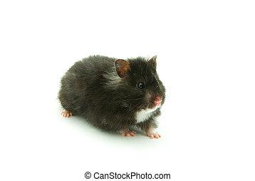 little hamster on white background