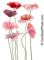 poppy - Studio Shot of Pink and Red Colored Poppy Flowers...