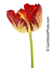 tulip - Studio Shot of Red and Yellow Colored Tulip Flower...