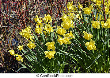 Closeup yellow daffodils (Narcissus) in spring on red...