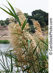 Reeds on the lake. - Beautiful photo of the reed on the lake...