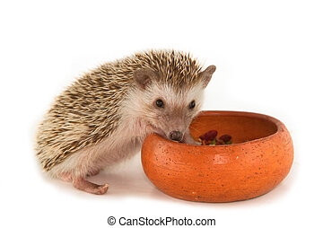 Hedgehog , African pygmy hedgehog
