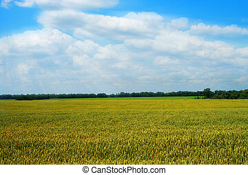 golden wheat field with blue cloudy sky