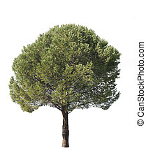 Isolated pine-tree - Coniferous tree isolated over white...