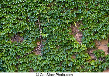 Ivy Wall. Ivy is an Evergreen Perennial Climbing or Trailing...