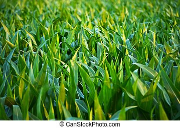 Countryside Corn Fields Closeup. Corn Field in Illinois,...