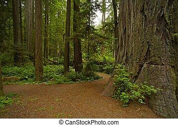 加利福尼亞, 紅杉, 森林