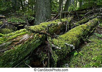 Mossy Logs in Deep Forest. Glacier National Park, Montana,...