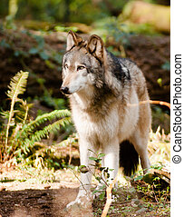 North American Timberwolf Wild Animal Wolf Canine Predetor...
