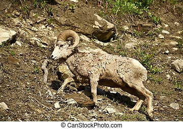 Montana Bighorn Sheep. Montana Wildlife Photo Collection.