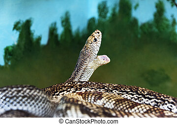 Florida Pine Snake with Mouth Open - Non-venomous Florida...
