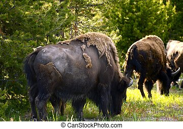 Yellowstone Bisons - Yellowstone American Bisons in the...