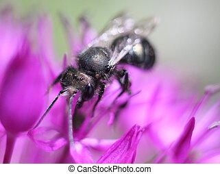 Mason Bee on Allium - An Orchard Mason Bee on Allium flowers