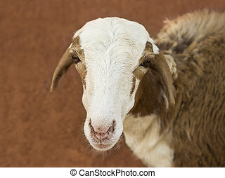 African goat on a red soil, Senegal, Africa