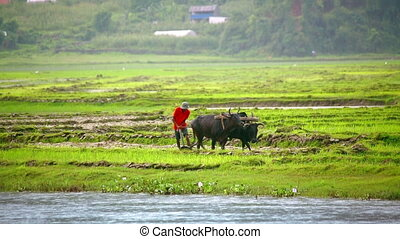 plowing with ox, Pokhara, Nepal